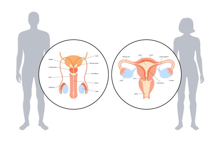 Urethra Explained