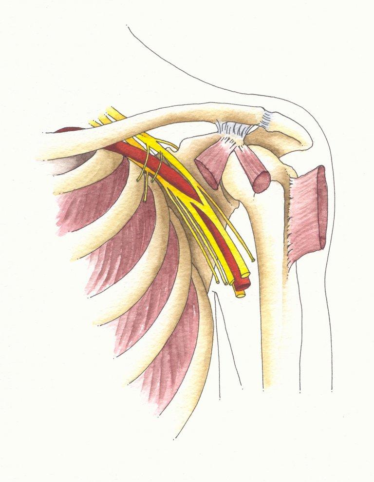 Brachial Plexus Explained