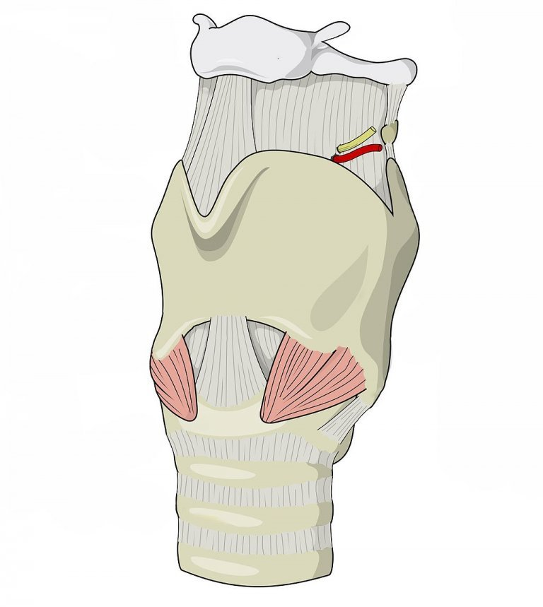 Larynx (Voice Box) Explained