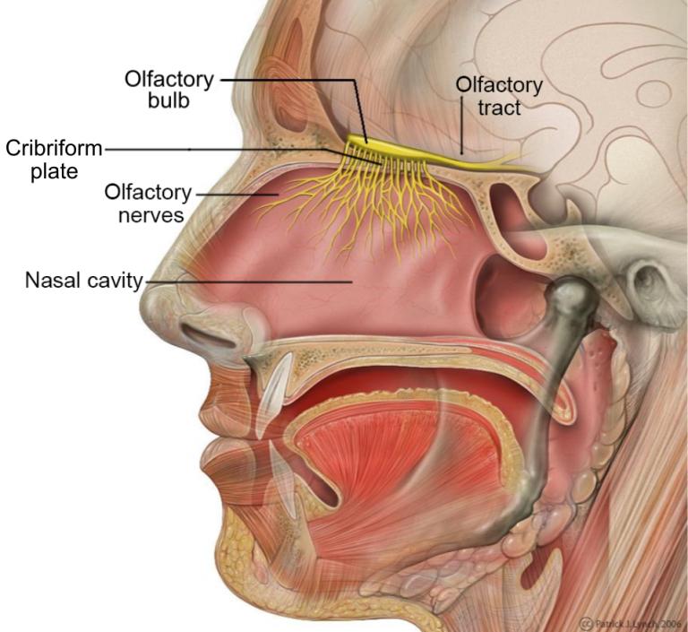 Nasal Cavity Explained