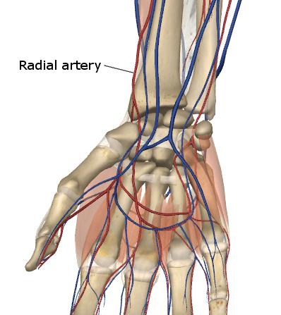 Radial Artery Explained
