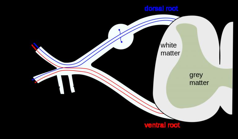 Spinal Nerves Explained
