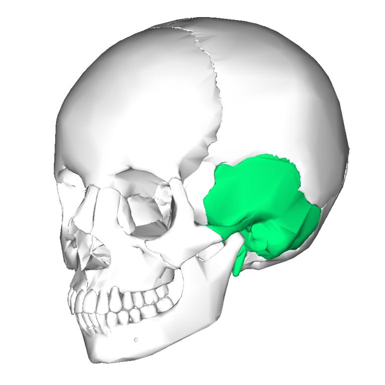 Temporal Bone Explained