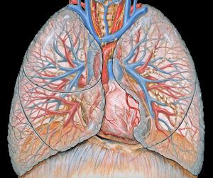Thoracic Anatomy - Lungs Illustration - Health Literacy Hub